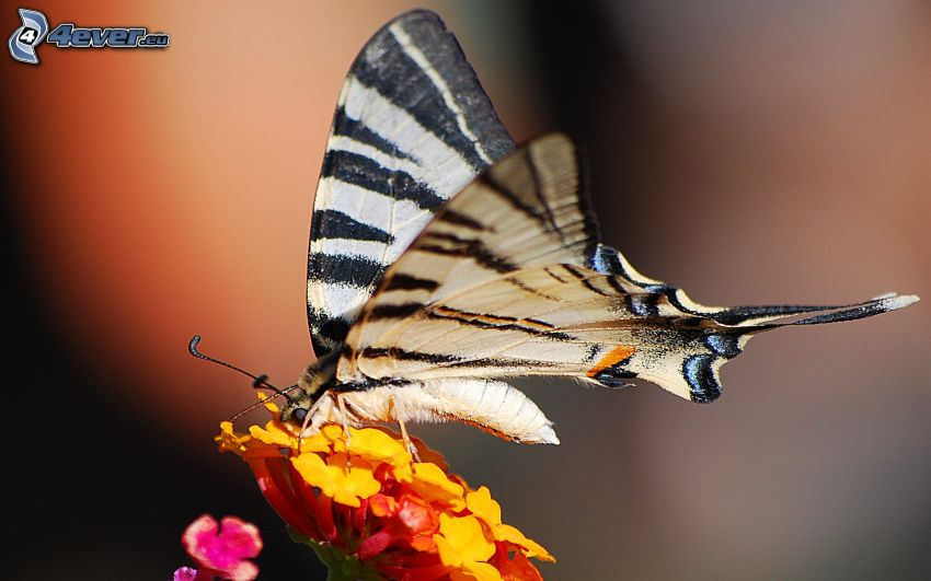 Swallowtail, orange flower, macro