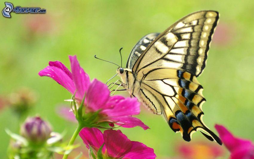 Swallowtail, pink flower, macro
