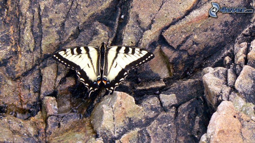 Swallowtail, rock