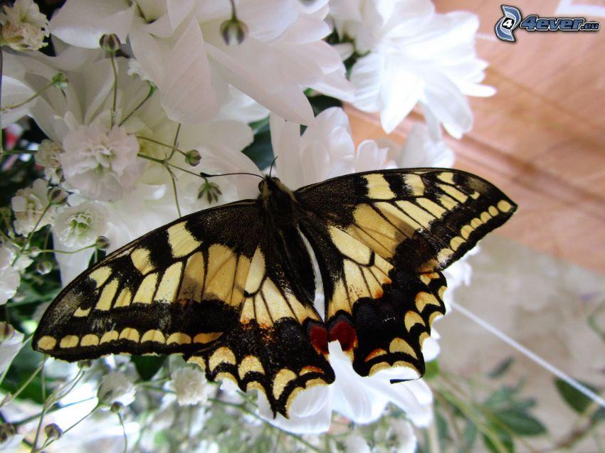 Swallowtail, white flowers, macro