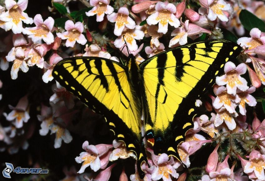 Swallowtail, white flowers