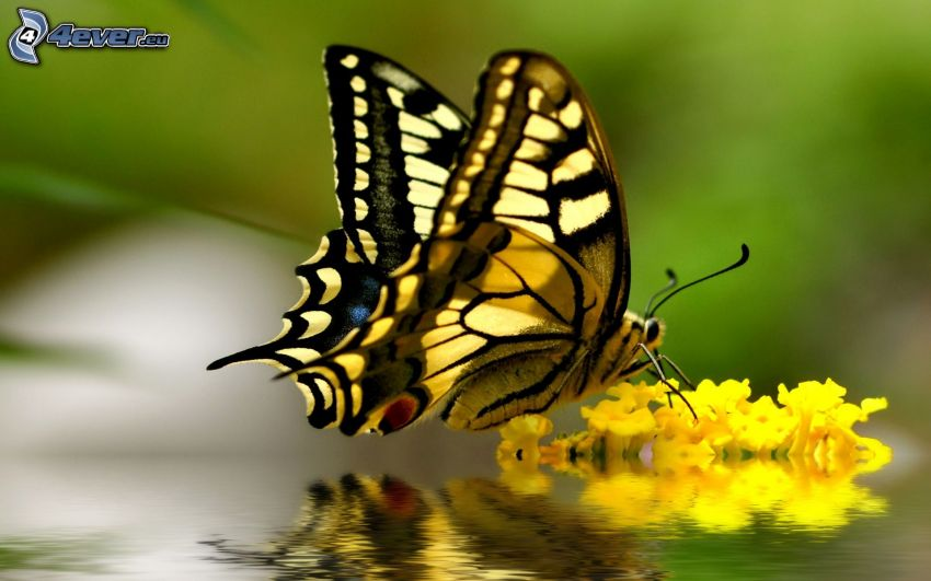 Swallowtail, yellow flower, water