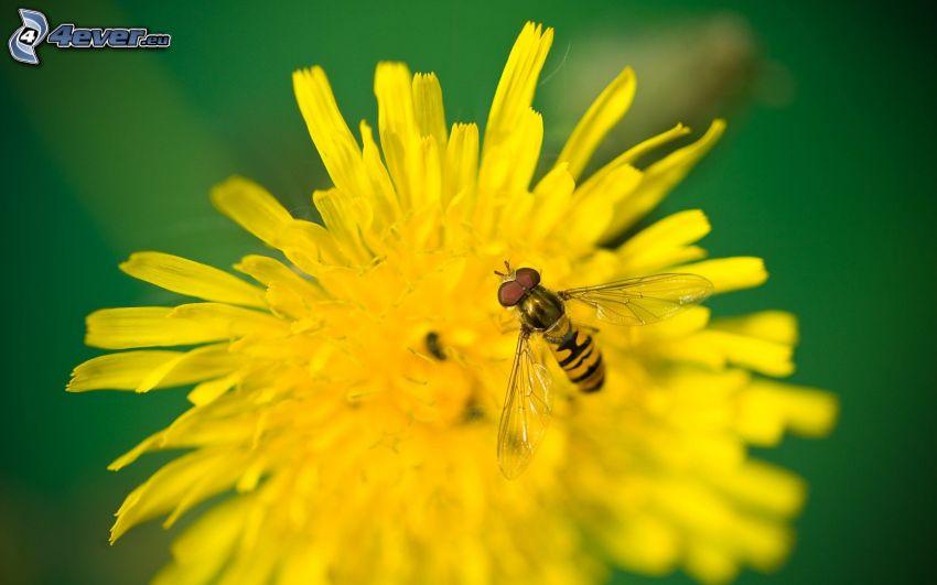 wasp, dandelion