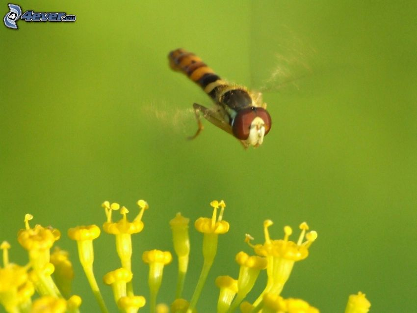 wasp, yellow flower