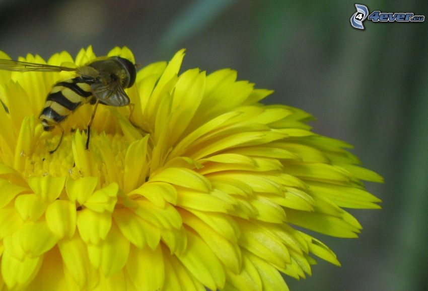 wasp of flowers, dandelion, yellow flower