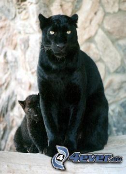 jaguar, animals, predators, nature
