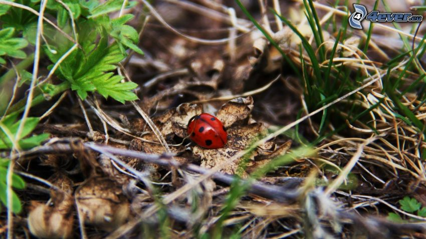 ladybug, tree needles, dry leaves