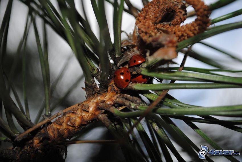 ladybugs, conifer twig