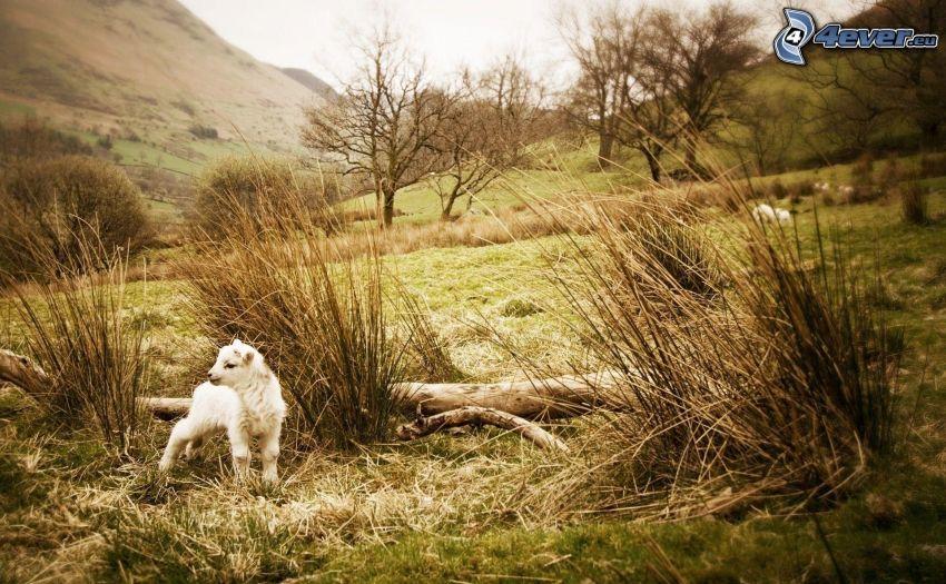 lamb, nature