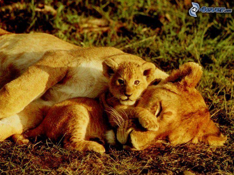 lioness, lion, animals, nature