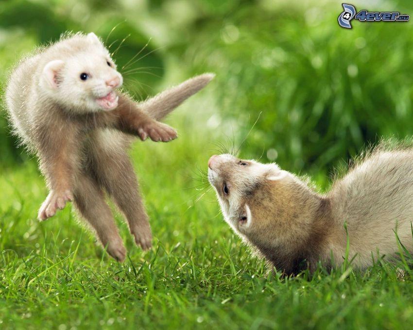 little ferrets, grass