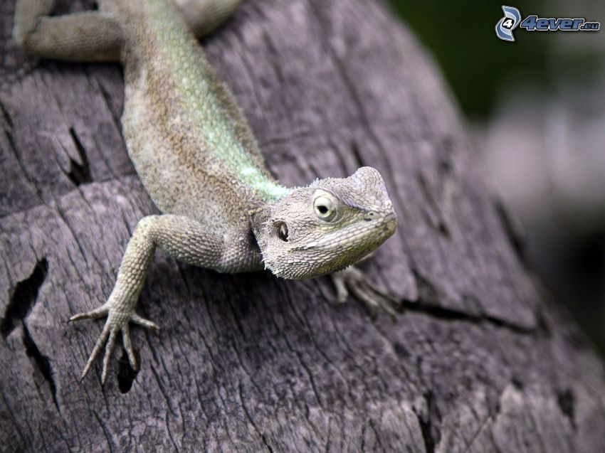 lizard, tree