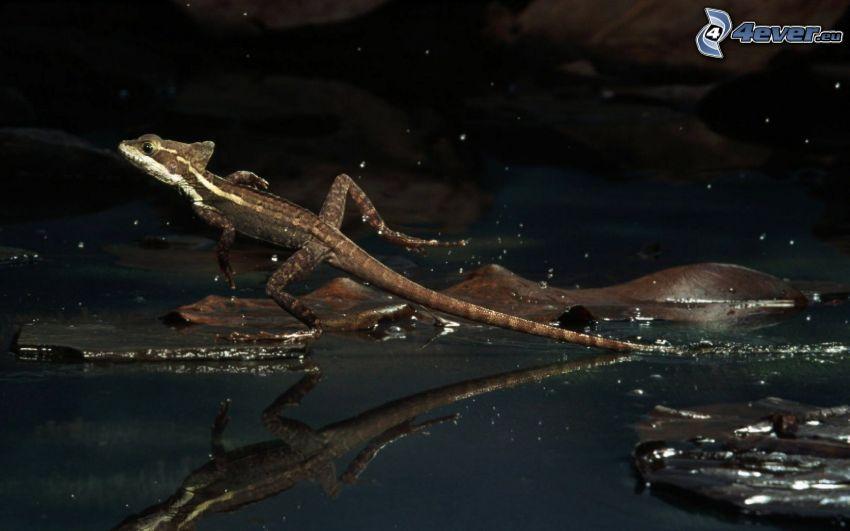lizard, water surface, dry leaves