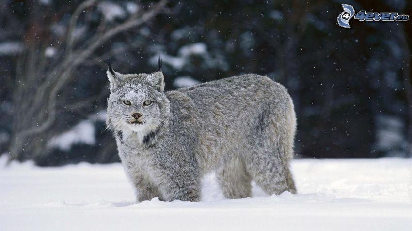 lynx, snow