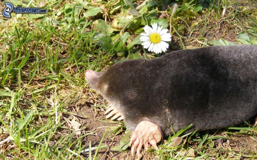 mole, daisy