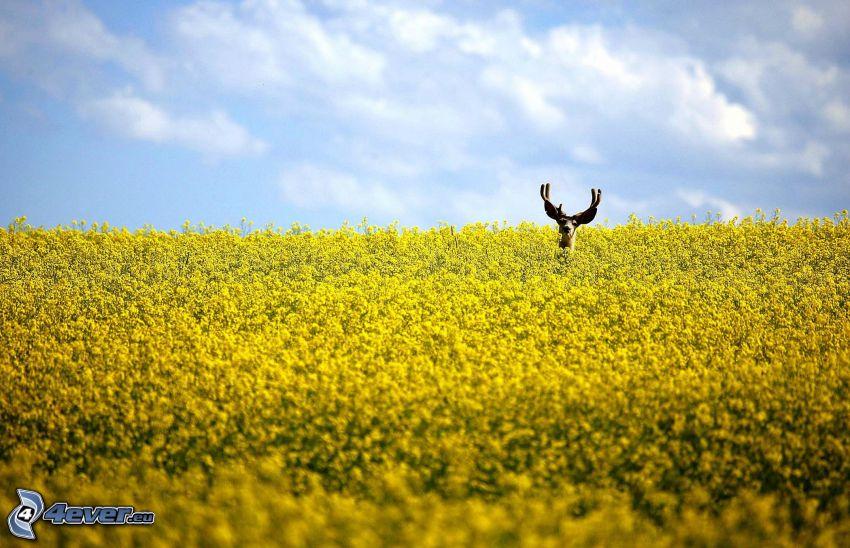 moose, rapeseed, field