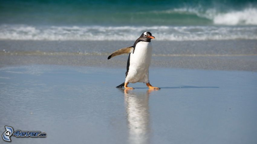 penguin, sea