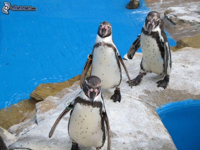 penguins, ZOO