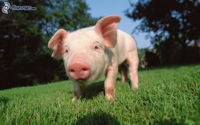 pig, lawn