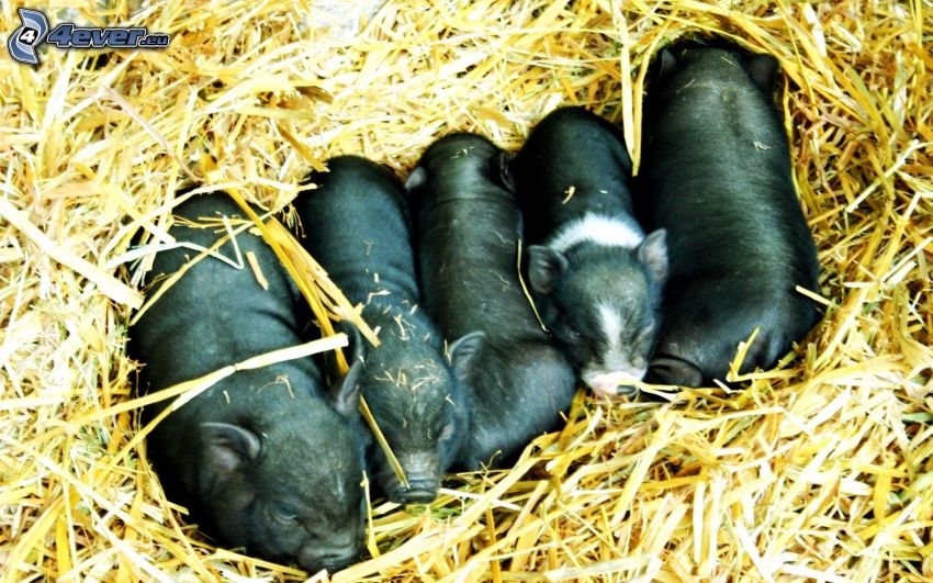pigs, cubs, straw