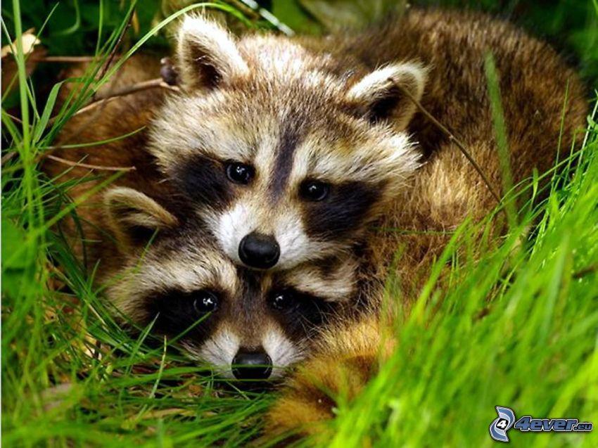 raccoon, grass