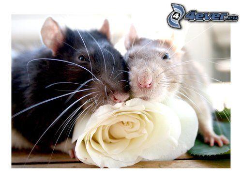 rat, rose