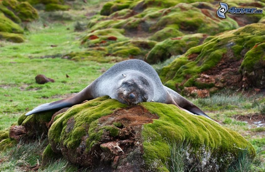 seal, rocks, moss, sleep
