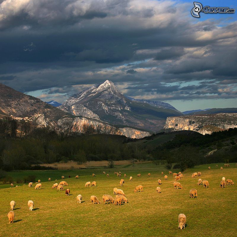 sheep, meadow, rocky hills, dark clouds