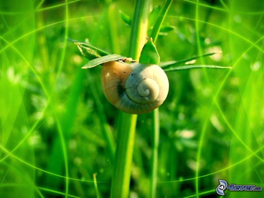 snail, greenery, grass