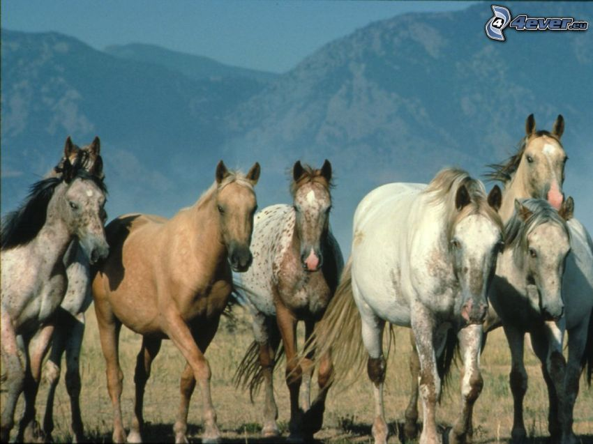 spotted horses, nature, animals