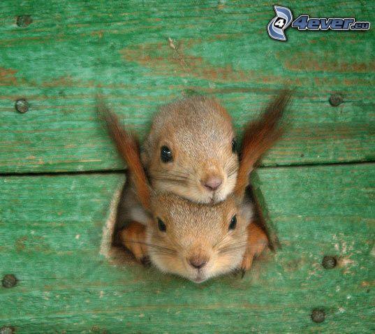 squirrels, palings, hole