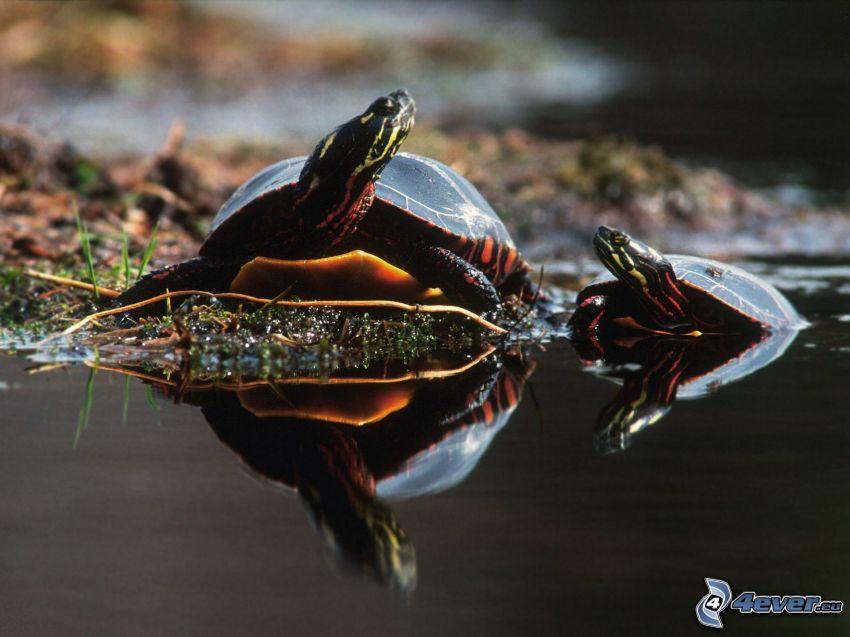 turtles, water surface