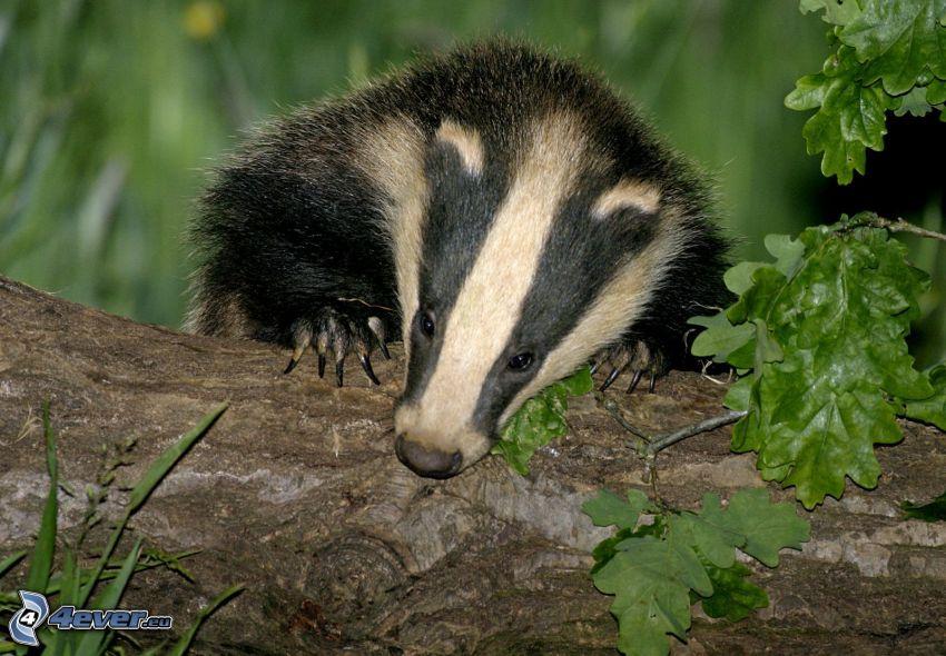 badger, branch, green trees