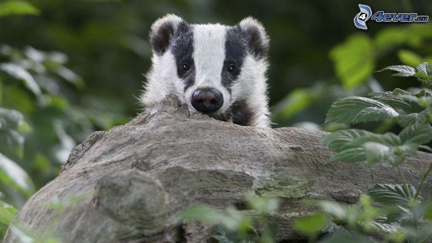 badger, branch, greenery