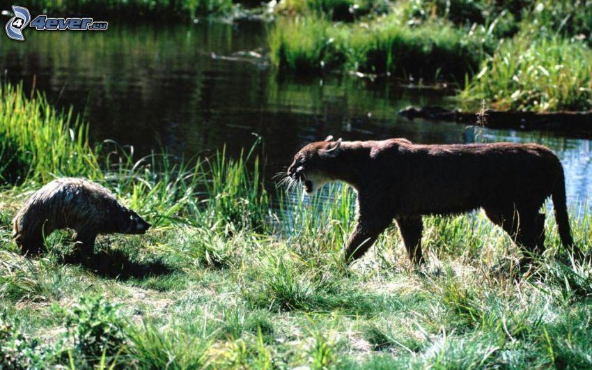 badger, cougar, River, greenery