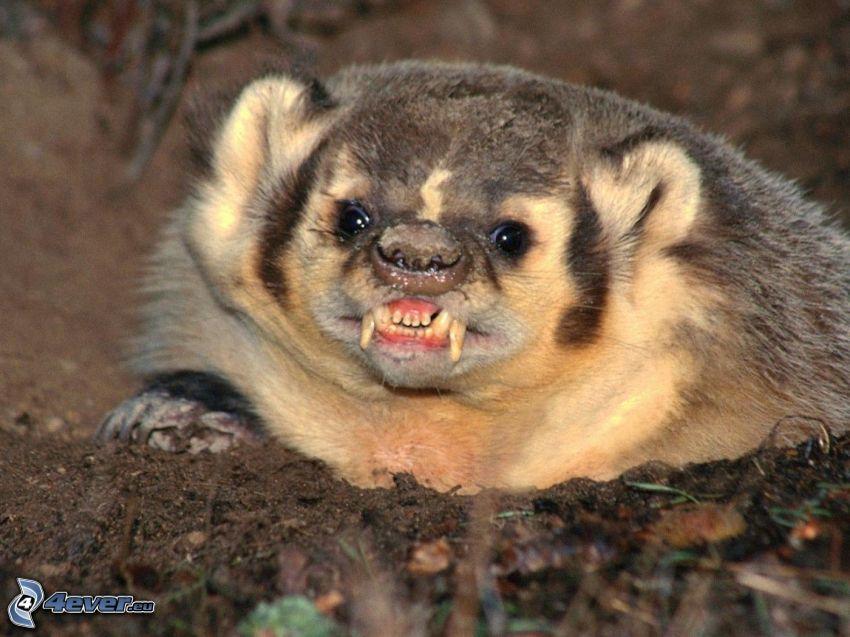 badger, teeth