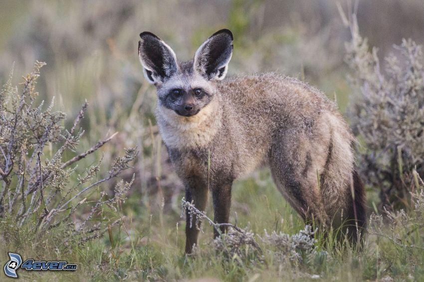 bat-eared fox, bushes