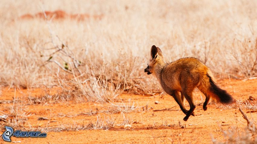 bat-eared fox, running