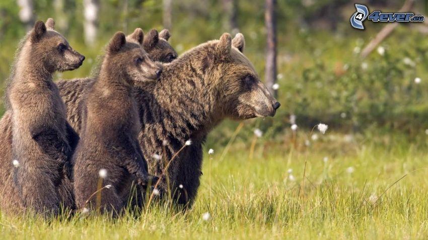 bears, cubs, dry grass