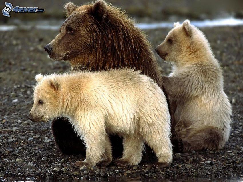 bears, cubs, gravel