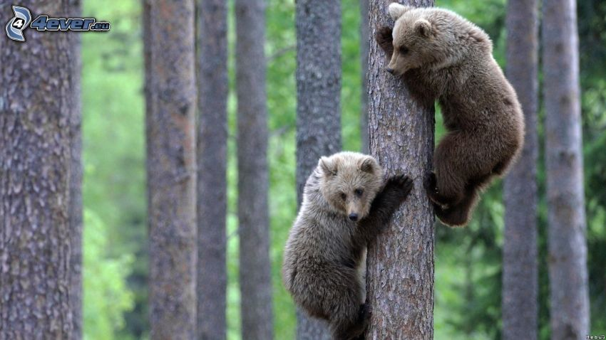 bears, forest, logs