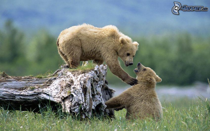 bears, stump