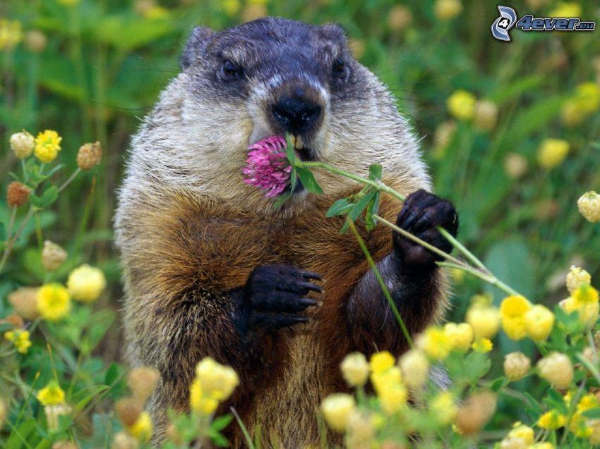 beaver, clover