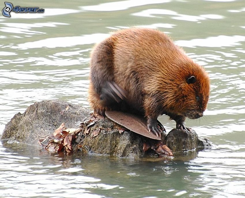 beaver, stone, water surface