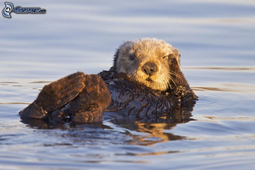 beaver, water surface