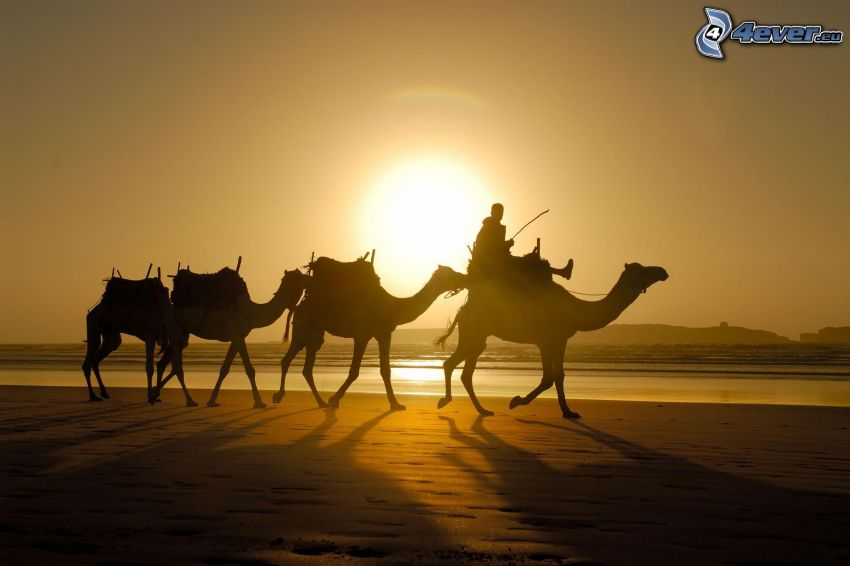 bedouins on camels, silhouette, desert, sunset