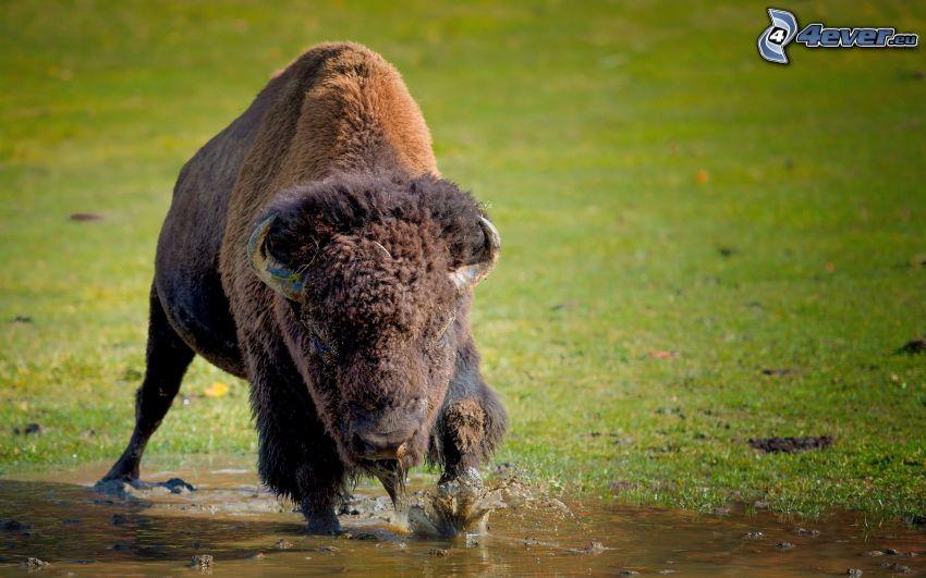 bison, cub, water