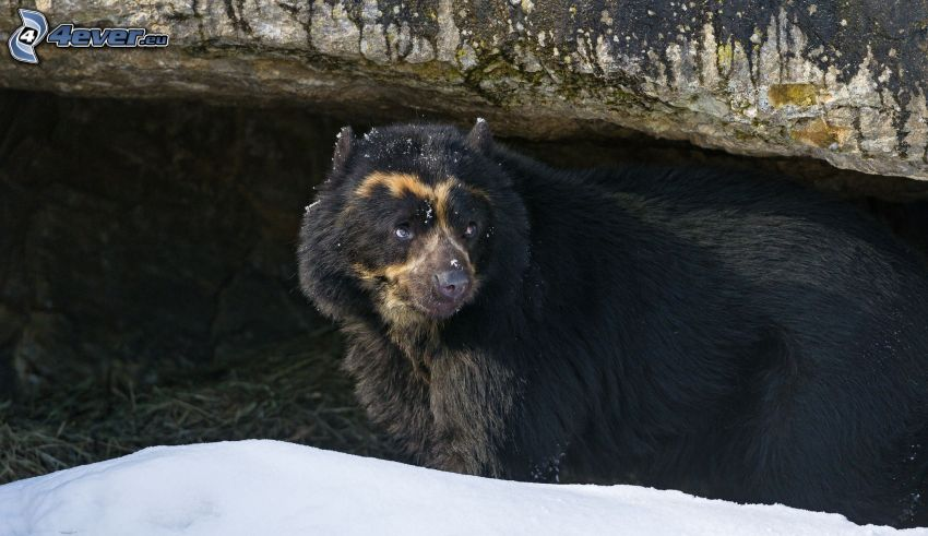 black bear, snow, rock