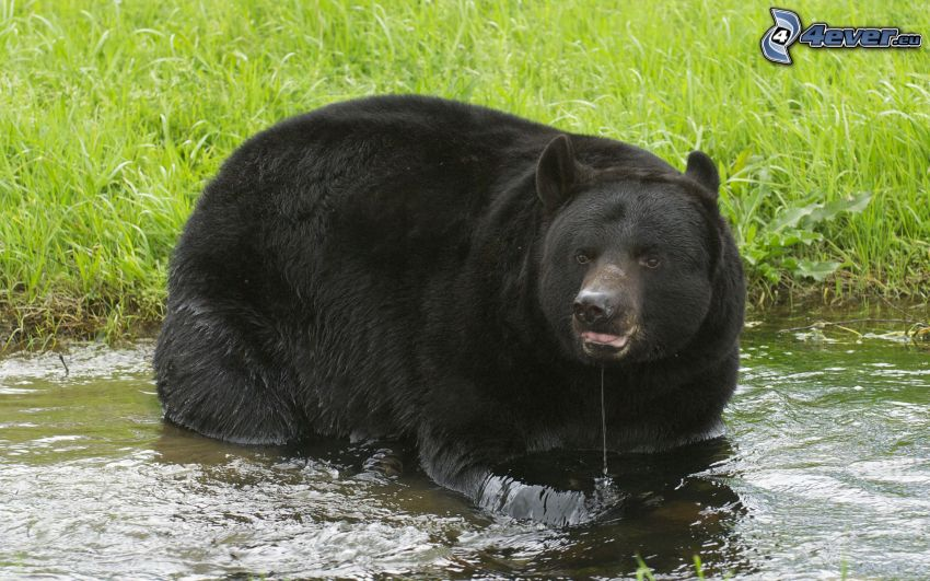 black bear, stream