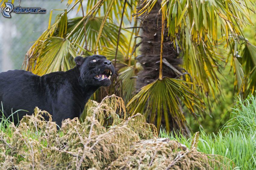 black panther, palm tree